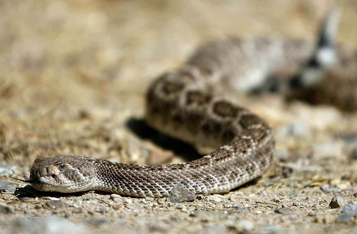 Rattlesnakes Are Out And They Re Biting Local News Tucson Com
