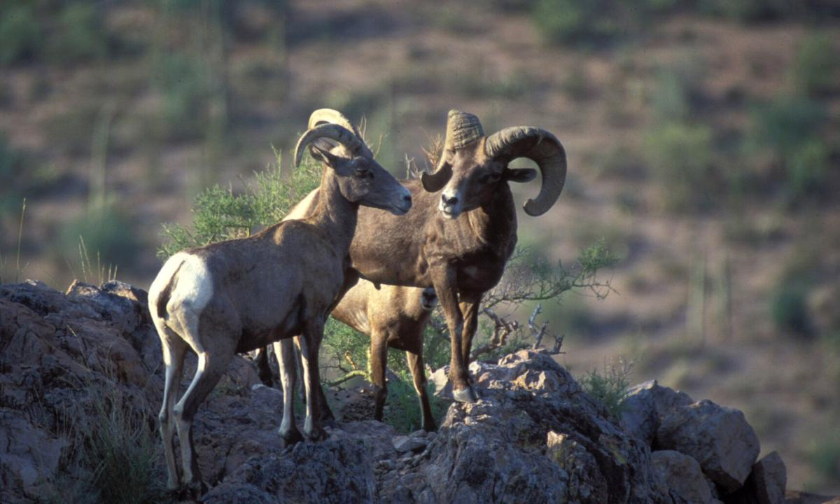 Marana man helps ensure Arizona desert bighorn sheep thrive