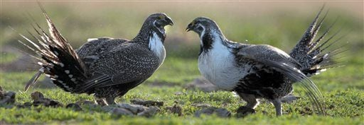 Sage Grouse Idaho