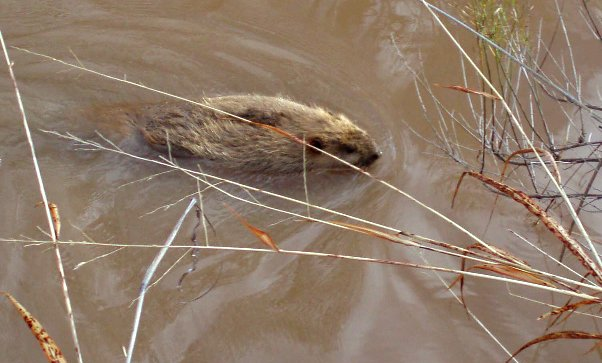 Reintroduced beavers branching out in San Pedro