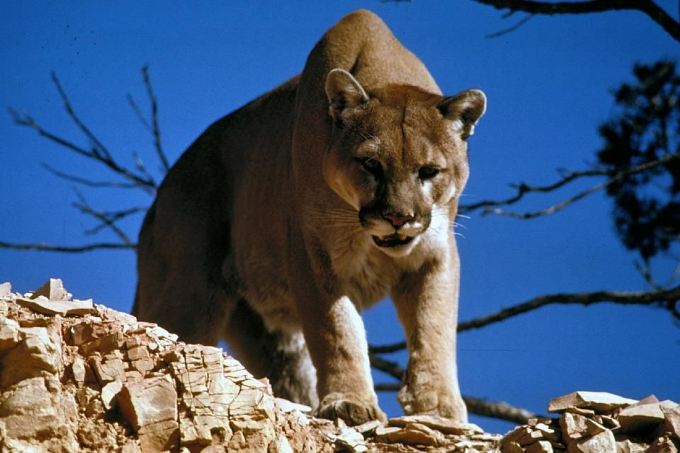 California: Treadmill-running mountain lions