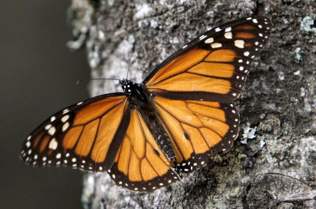 Mexico Monarch Butterflies