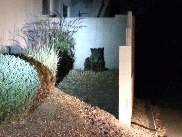 Bear killed on Tucson's NE side