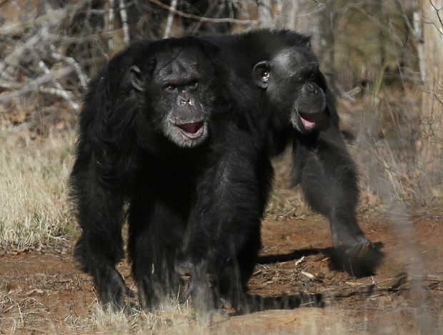 NIH to retire chimps from medical research