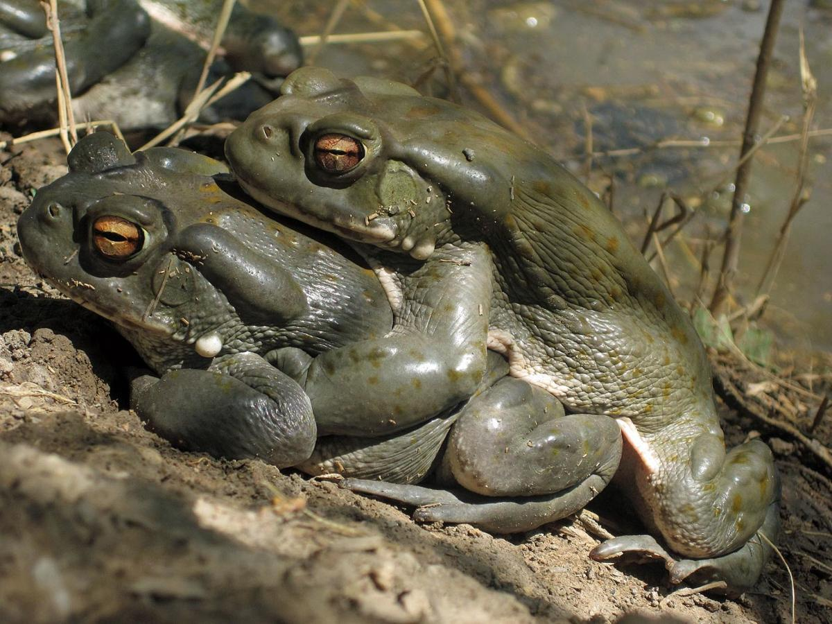 Desert toads