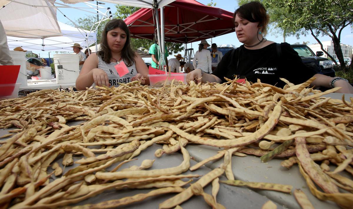 Inspecting Mesquite bean pods