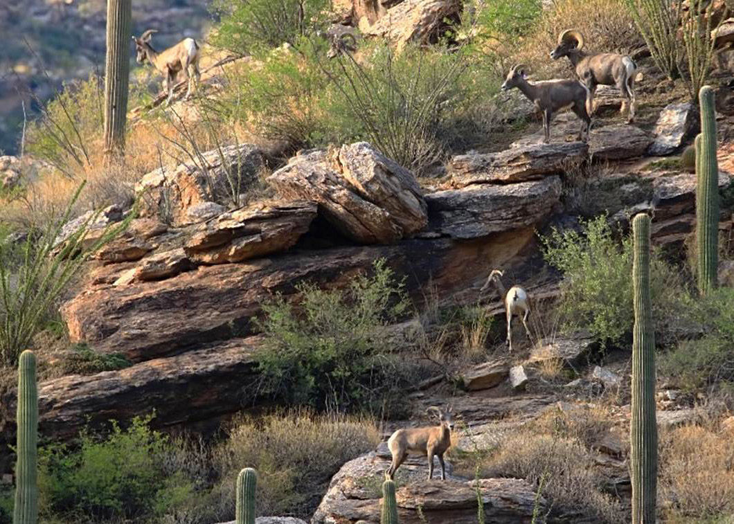 Several bighorns