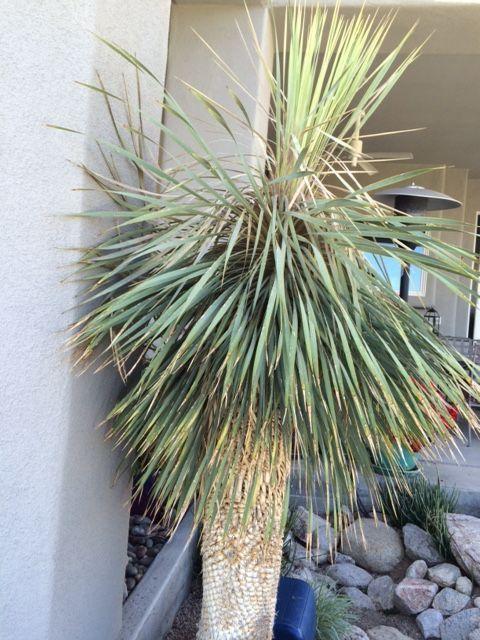 Sickly looking yucca
