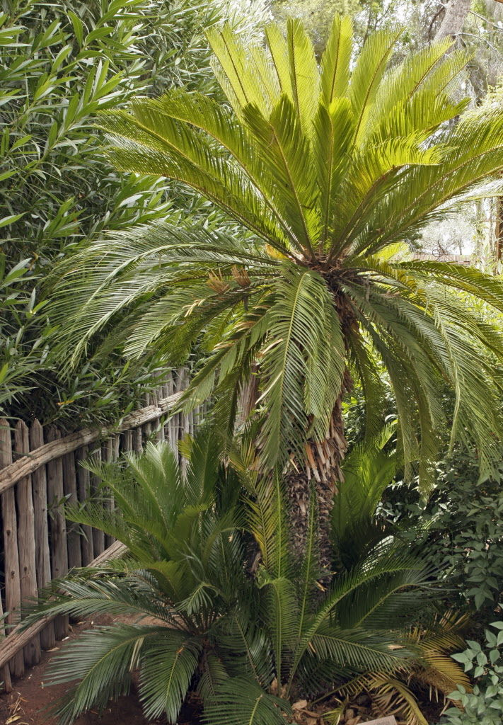 How to replant sago and fan palms