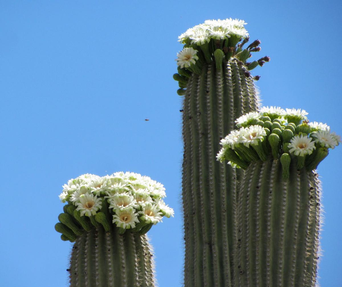 Sabino Canyon saguaro in bloom
