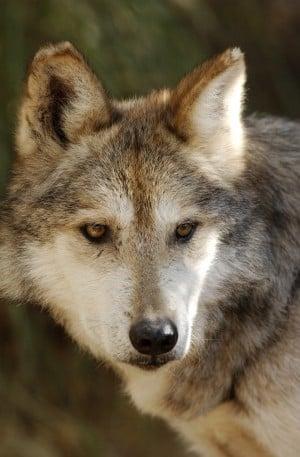 University of Arizona genetics research verifies purity of Mexican wolf | Tucson.com