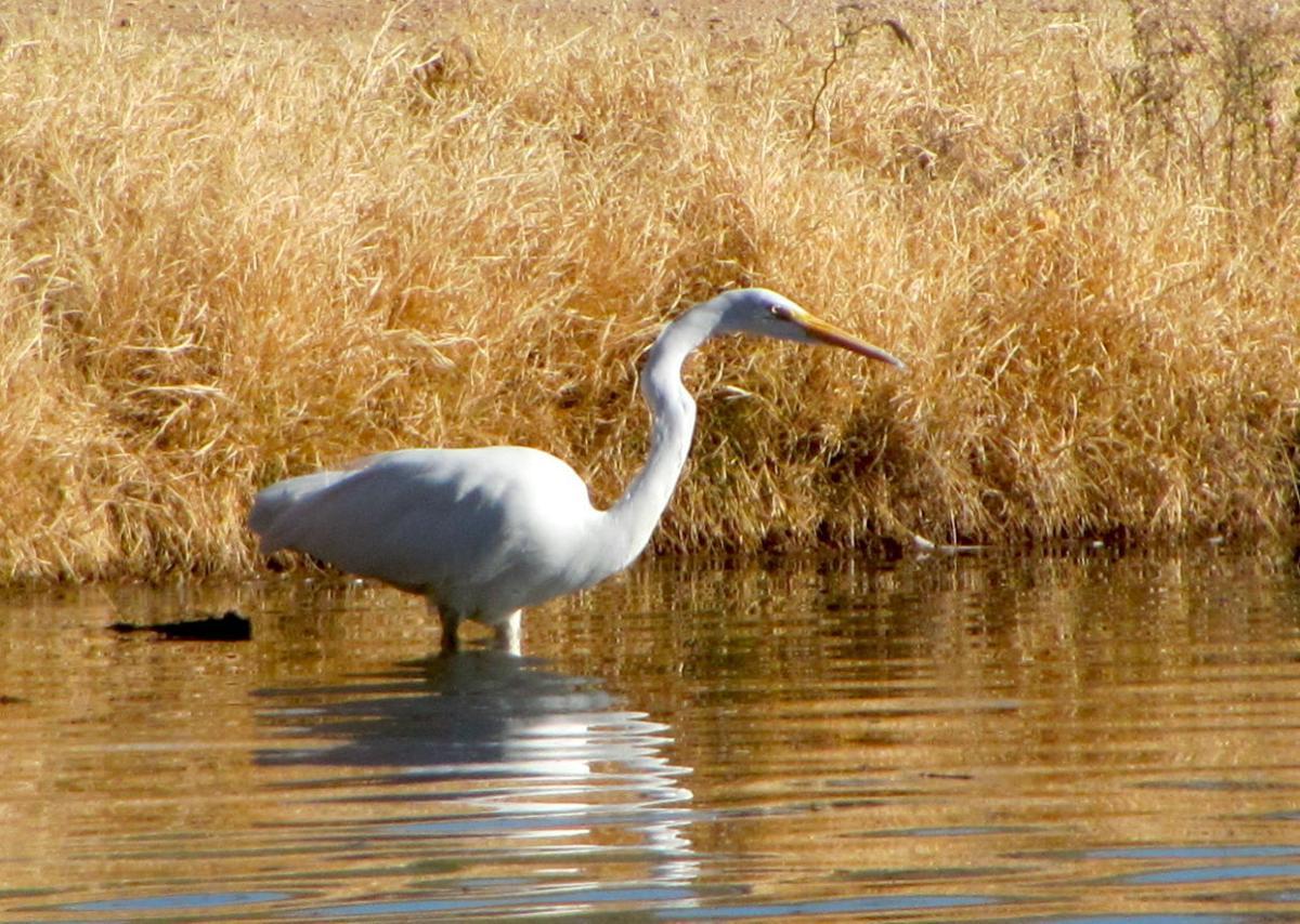 Egret at Fort Lowell Park