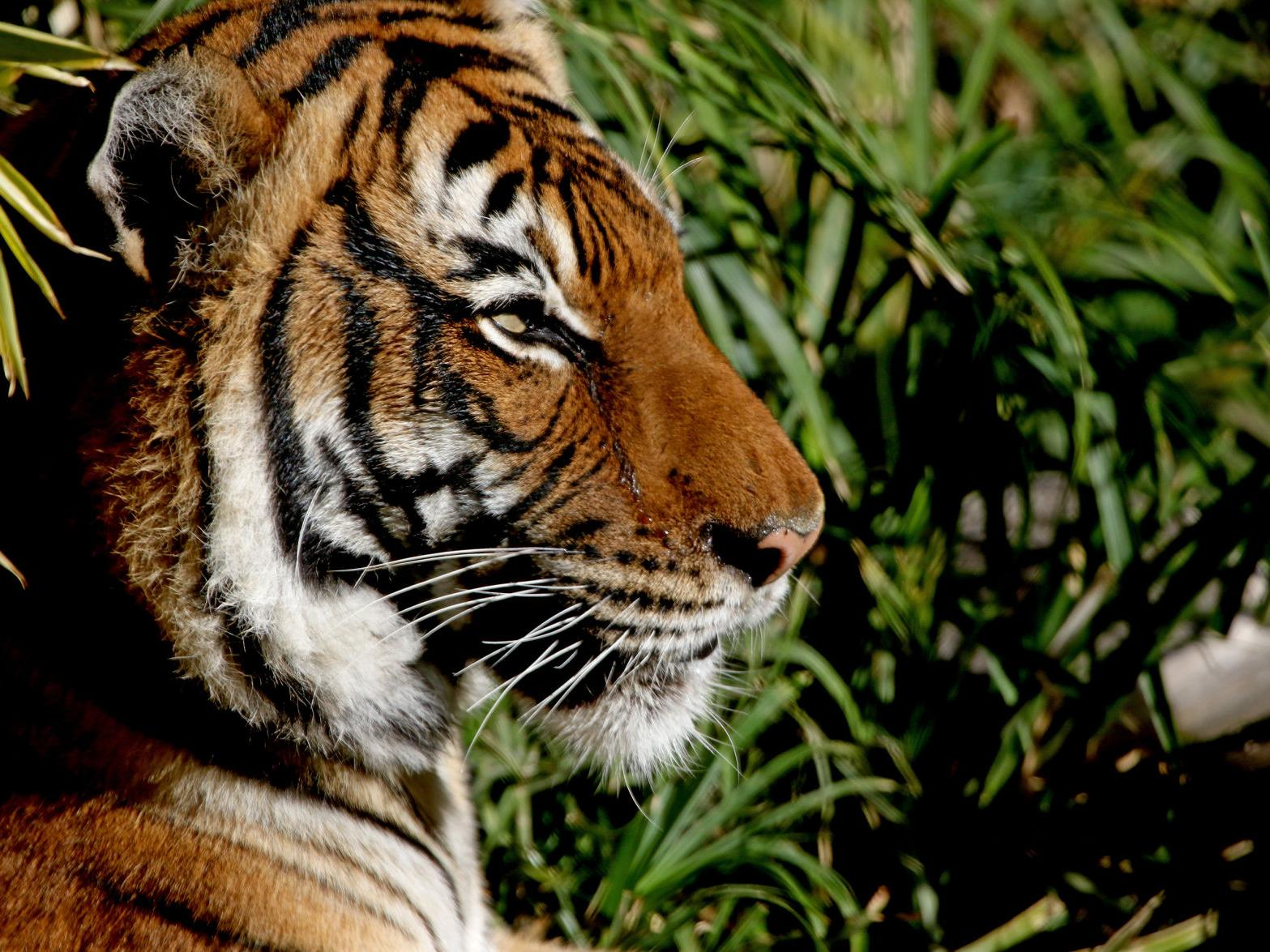 Tiger At Tucson S Reid Park Zoo Euthanized After Kidney Disease Progresses Local News Tucson Com