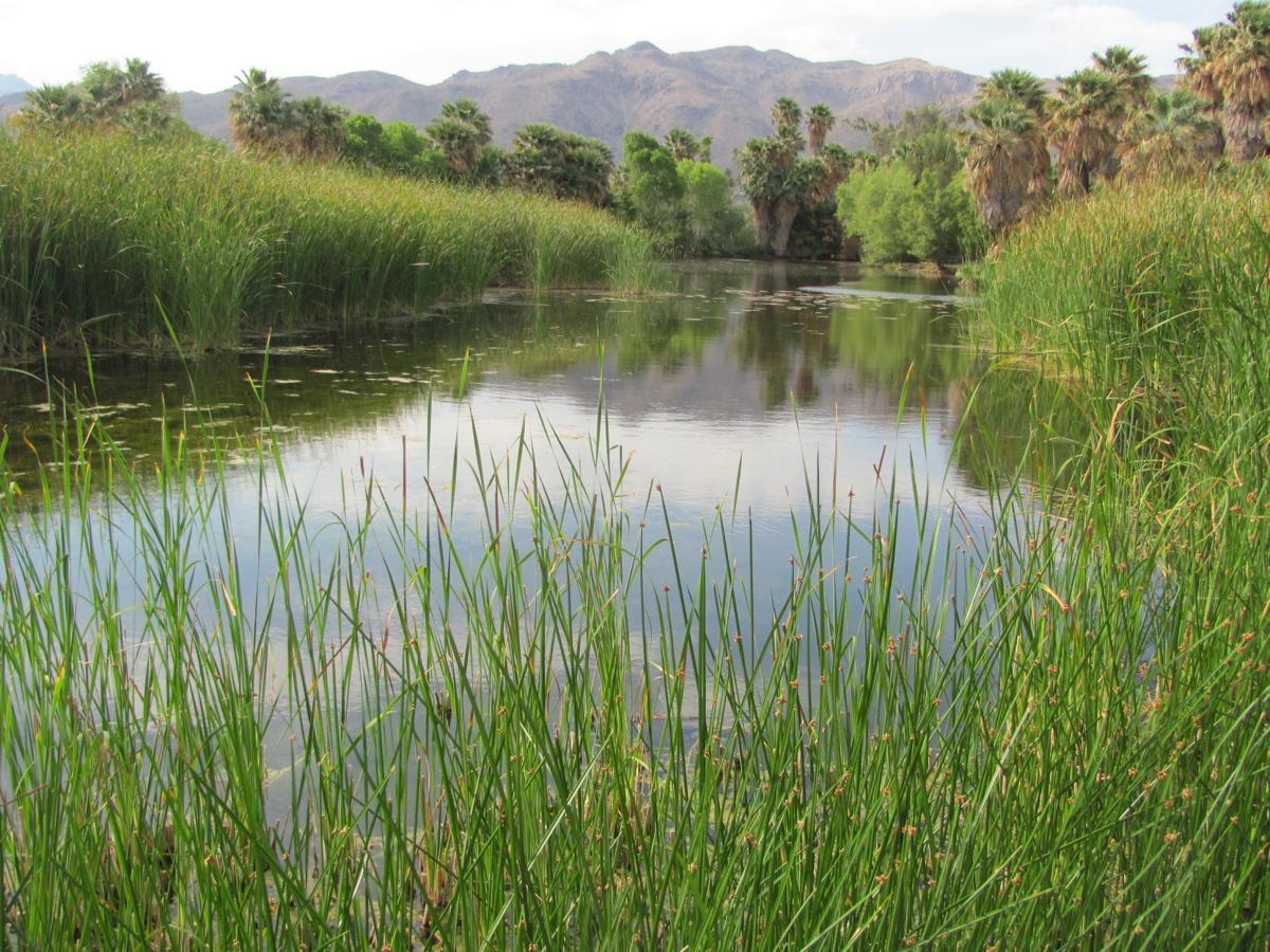 Cattails around pond