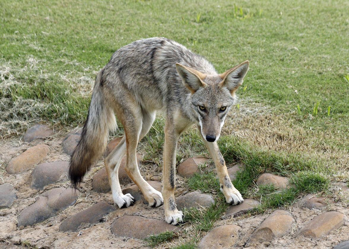Coyote-Problem-2019-12-.JPG