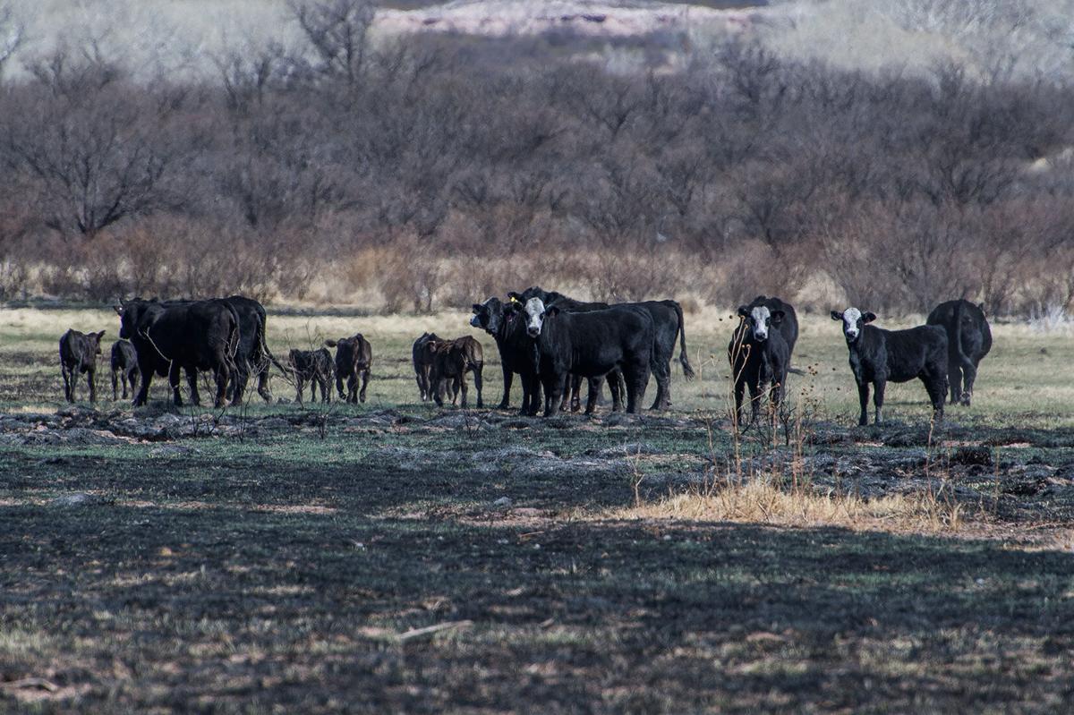 Trespassing cattle