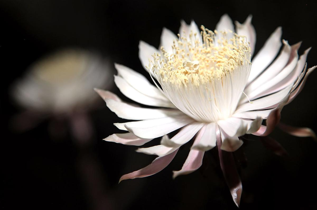 Happening Tonight Queen Of The Night Mass Cactus Bloom