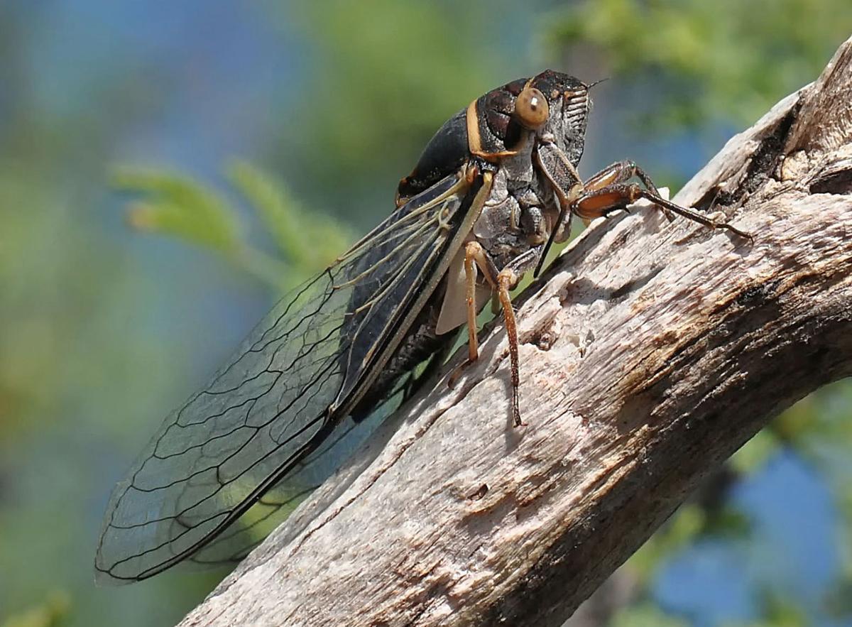 Apache cicada