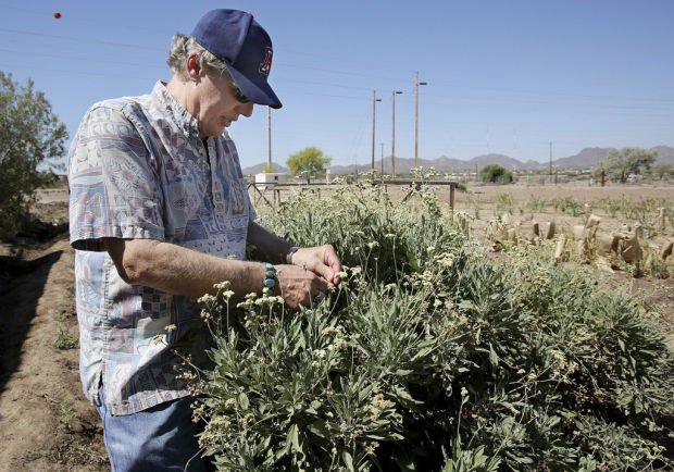 Tucson tech: Desert shrub guayule may be new major source of natural rubber