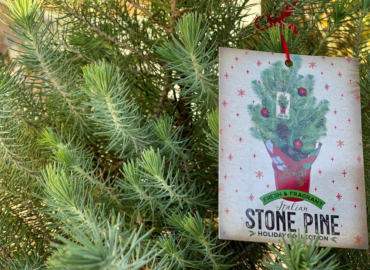 Italian stone pine Christmas tree