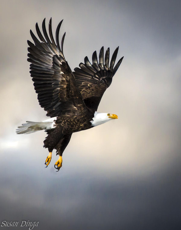 Eagle-in-Flight-1.jpg