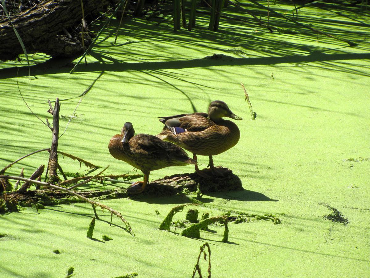 Ducks and duckweed
