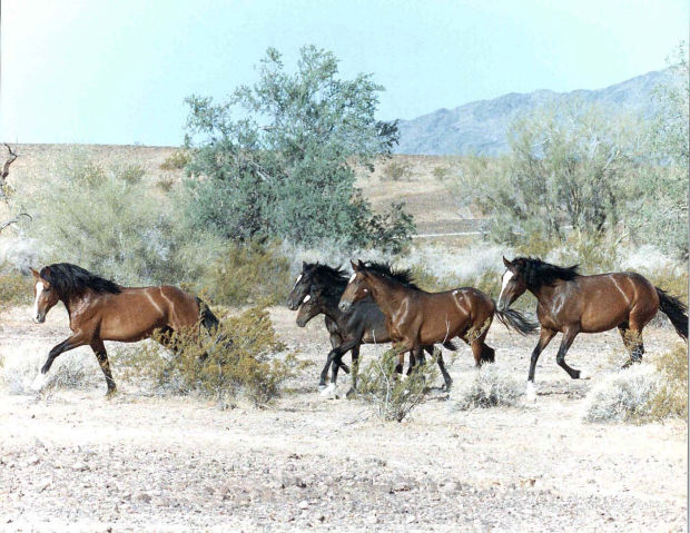 Report: Roundups may boost wild horse numbers