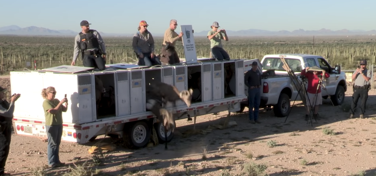 Bighorn near Tucson part of Game and Fish relocations