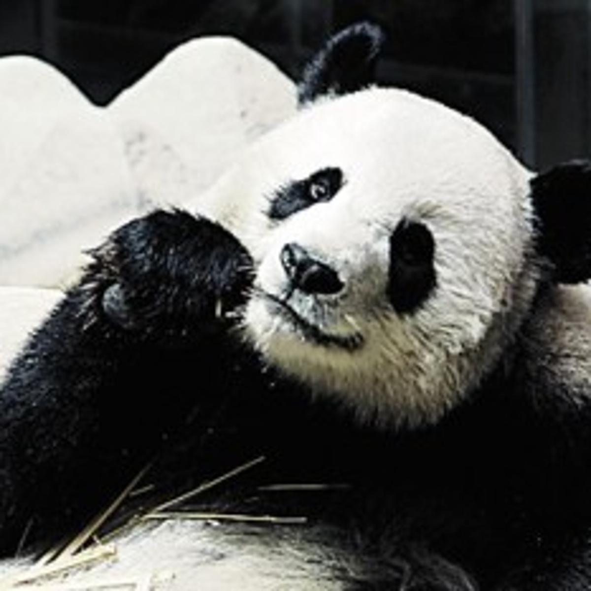 Animal Insemination Porn panda 'porn' part of bear baby boom | science | tucson