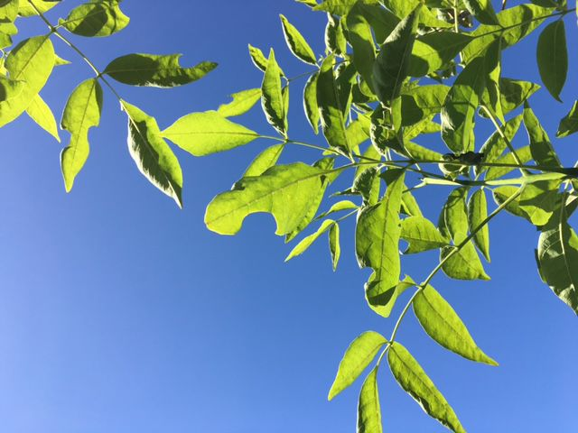 Garden Sage: Ocotillo not looking as lush as it once was | Tucson ...