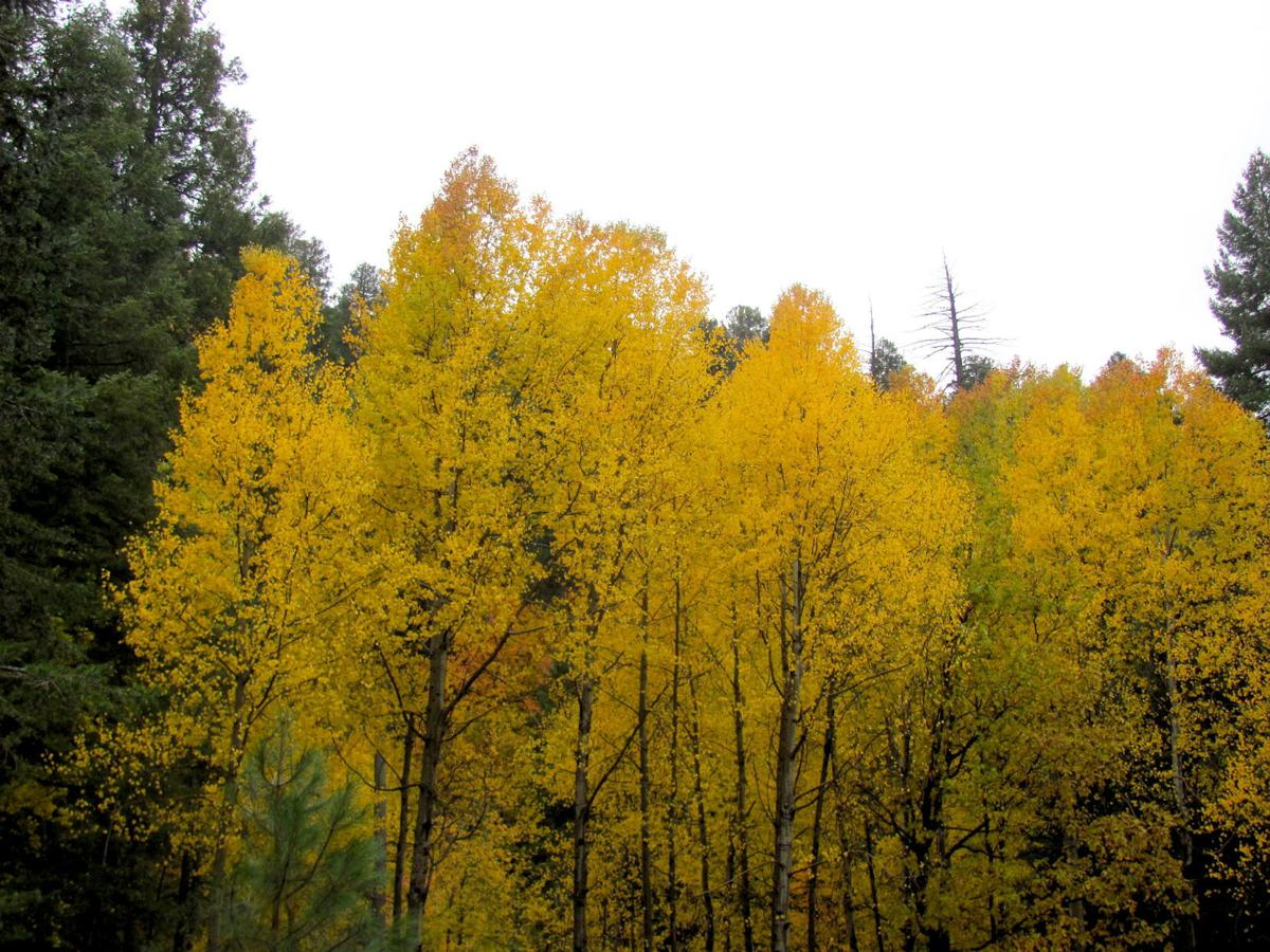 Aspens at peak autumn color