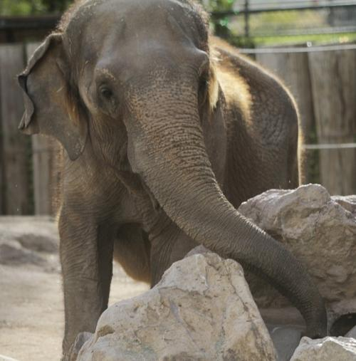 Connie, 1 or 2 elephants moved from Tucson zoo, euthanized