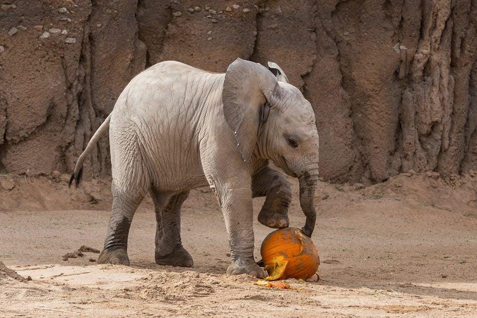 Nandi and pumpkin