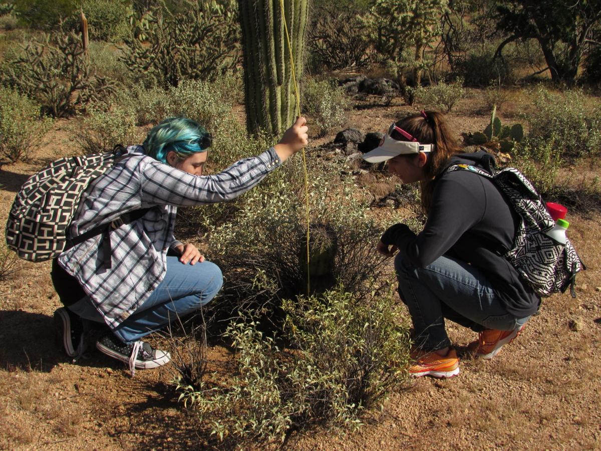 Measuring a saguaro