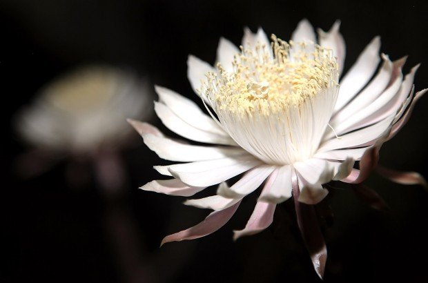 Photo Gallery Night Blooming Cereus At Tohono Chul Park