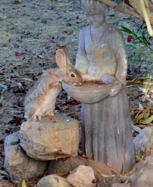 Rabbit drinking