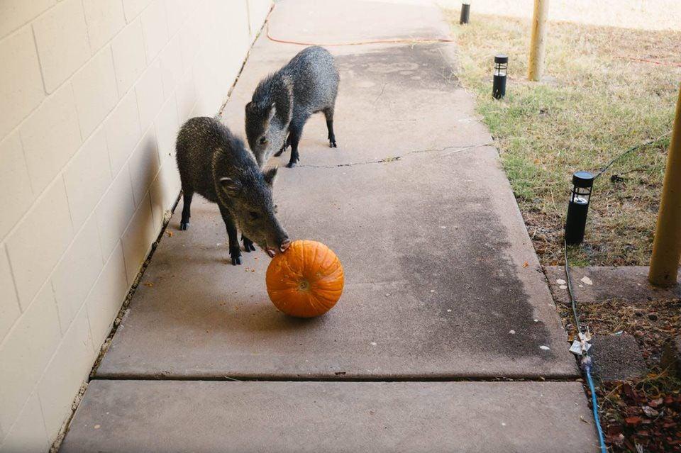 Pumpkins attracted javelinas