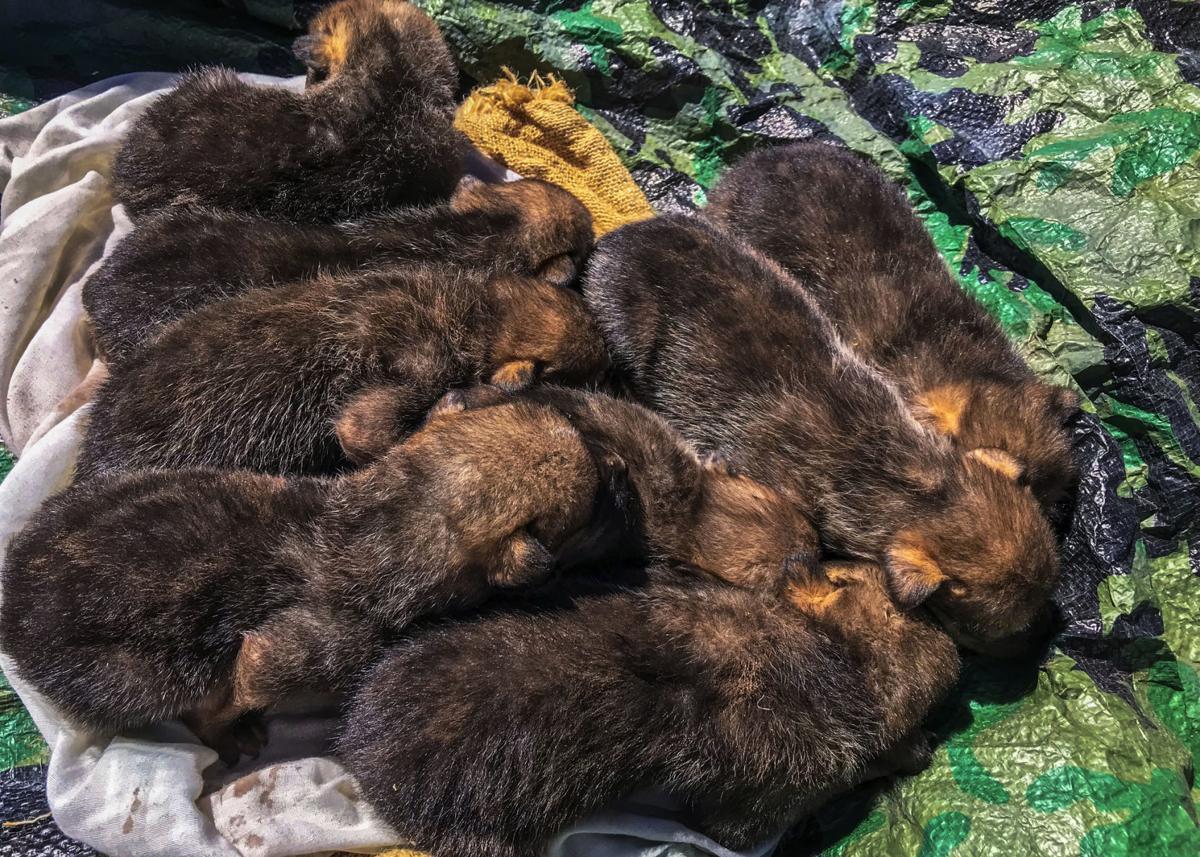 Endangered Wolves Pups