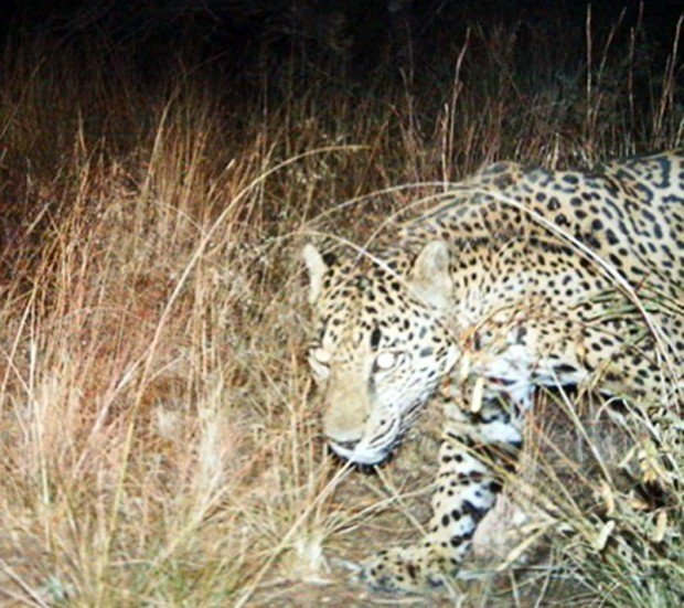 New photos of jaguar taken SE of Tucson released by feds