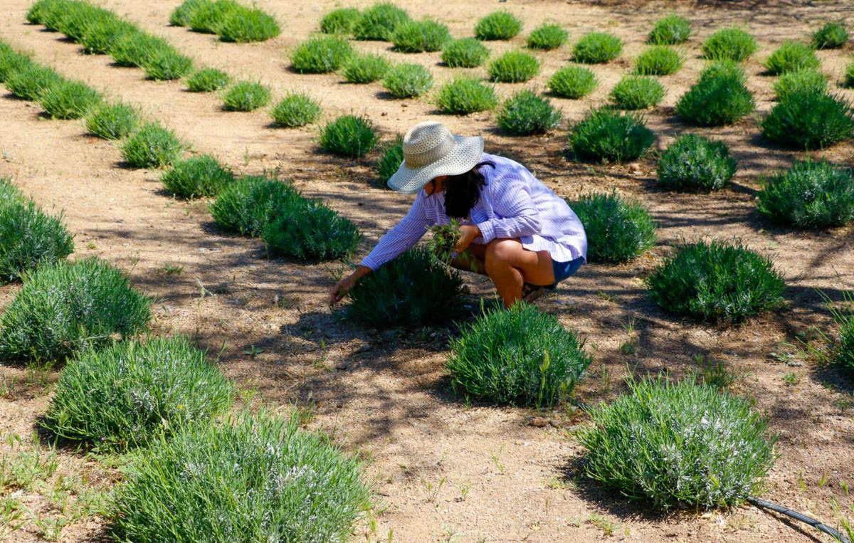 Life Under the Oaks Lavender Farm