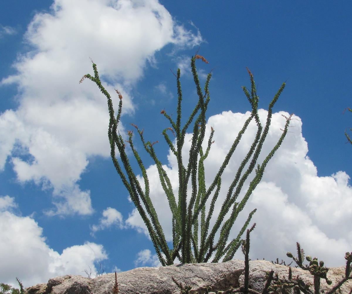 Clouds and ocotillo