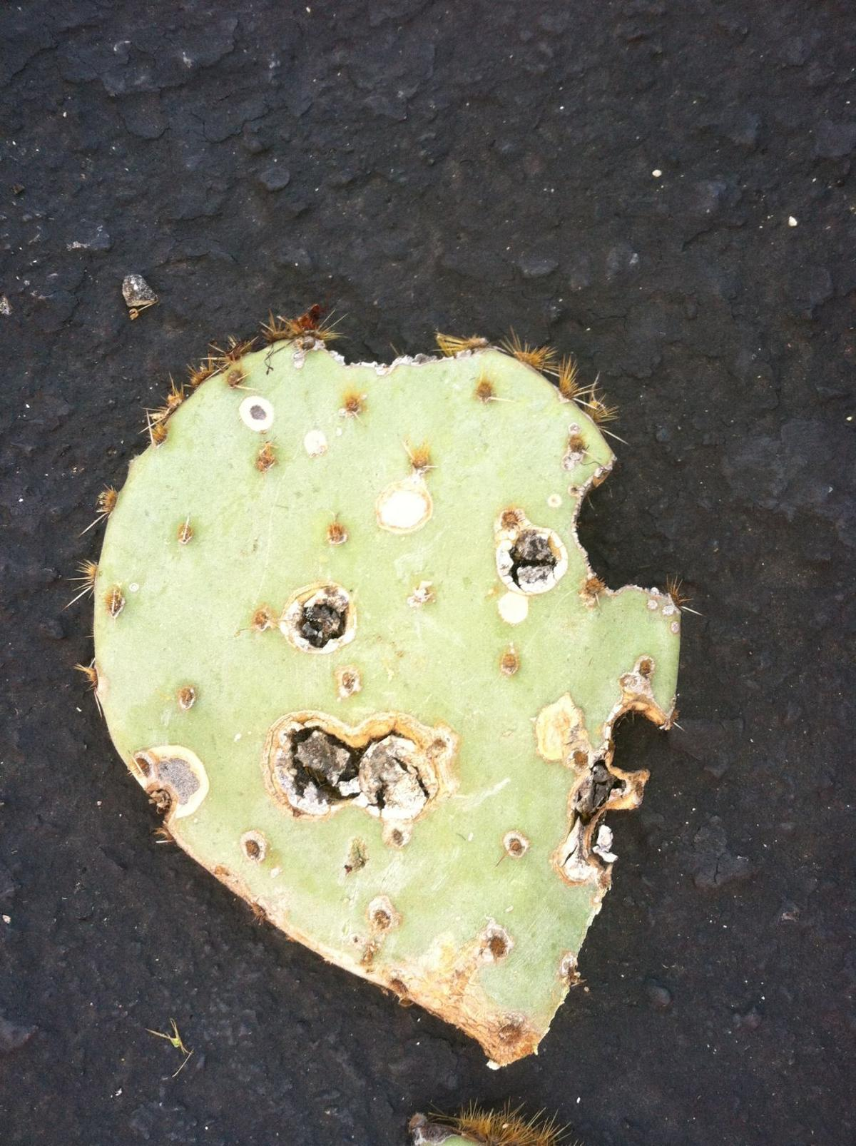 Christmas Cactus Diseases.17 Pointers On Keeping Your Cactus Looking Sharp Tucson Com