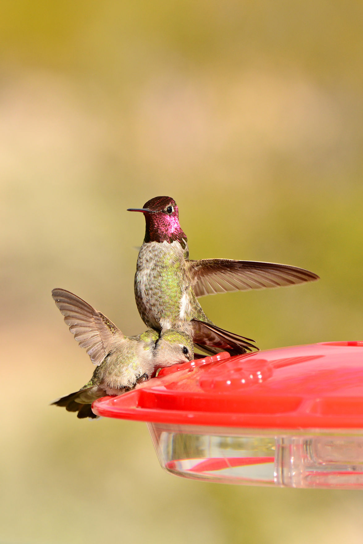 s Hummingbirds from Tucson backyards and beyond