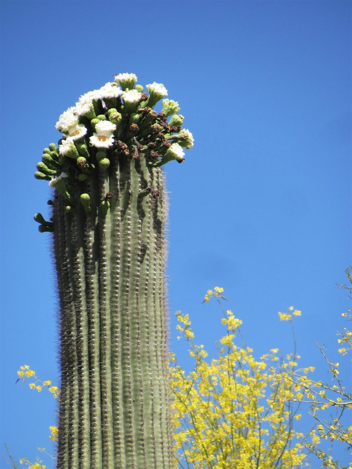 Saguaros in bloom
