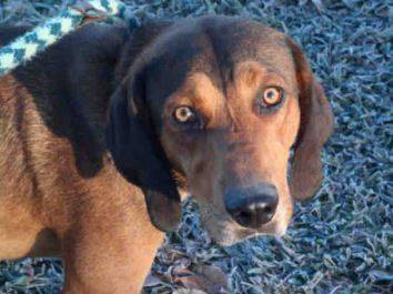 Buster — Red & black Bloodhound Mix