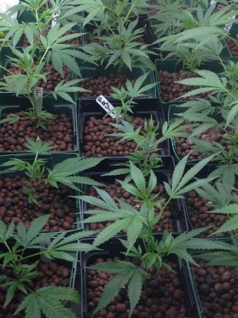 150 marijuana plants found in midtown grow house