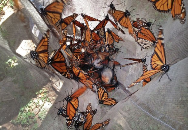 Monarch butterfly count drops sharply