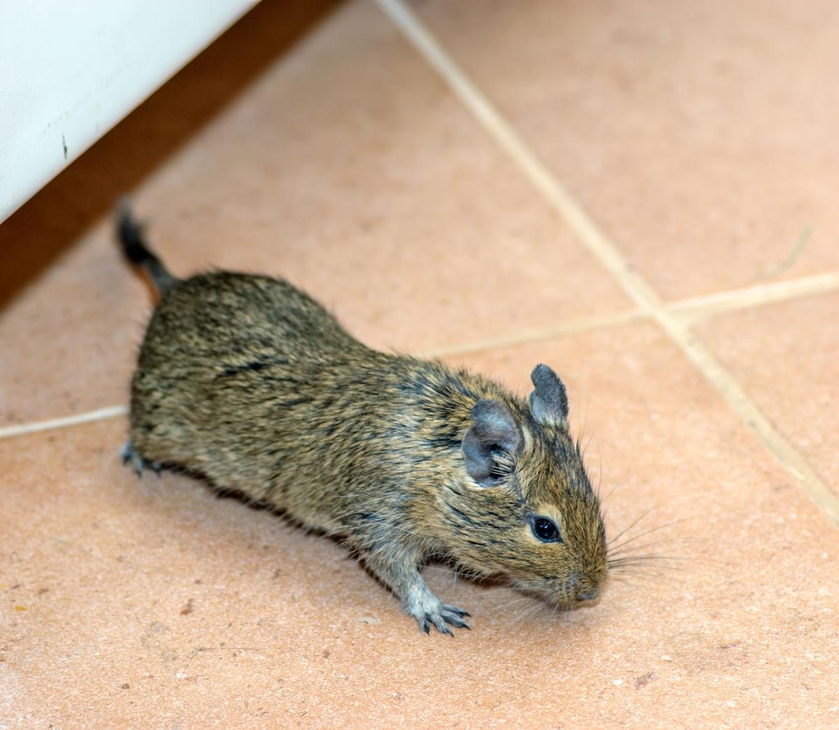 How Do I Get Rid of the Mice Invading My Patio?