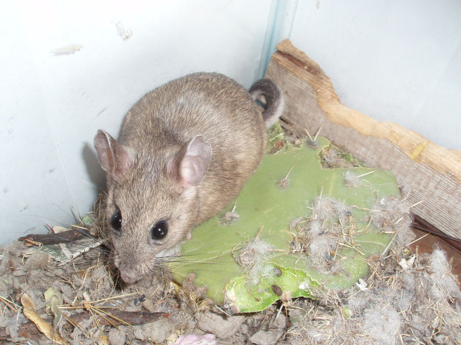 How Can I Get Rid Of Pack Rats In My Storage Shed?