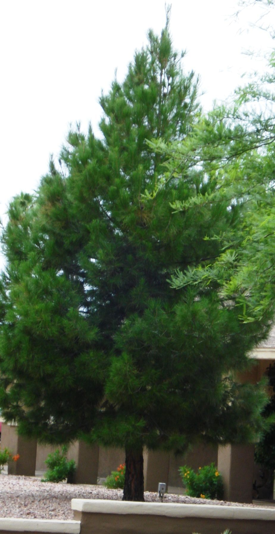 Can I Prune The Lower Branches On My Fir Tree